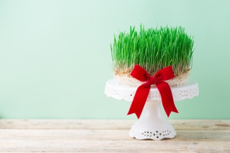 Spring wheat grass sprouting for Novruz or Easter, fresh semeni in white bowl plates with red ribbon